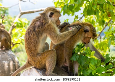Toque macaque allogrooming in the area of the Dambulla cave temple in Sri Lanka