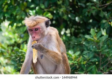 Toque macaque eats banana.