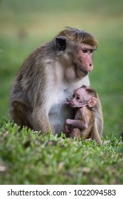 The toque macaque, macaca sinica is  breastfeeding the young monkey in the Jetavanaramaya temple park in Sri Lanka. Monkey mather and her baby in the grass with green background