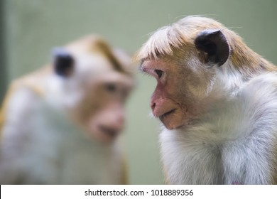 Toque macaque (Macaca sinica), reddish-brown-coloured monkey common in Sri Lanka. Two monkeys on the photo, resembling a reflection, with only one animal in focus due to shallow depth of field.
