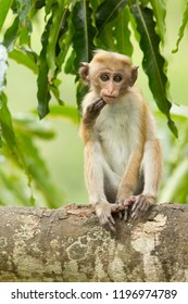 Toque macaque (Macaca sinica) is a reddish-brown-coloured Old World monkey endemic to Sri Lanka, where it is known as the rilewa or rilawa