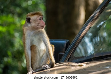 The toque macaque (Macaca sinica) in Sri Lanka