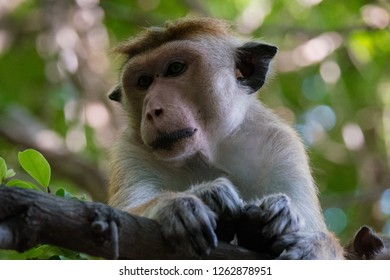 Toque Macaque monkey of Sri Lanka