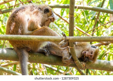Toque macaque monkeys grooming at Royal Botanical Gardens, Peradeniya, Sri Lanka