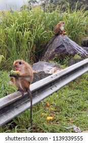 Toque Macaque monkies at roadside feeding on fruit in Sri Lanka