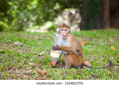 Toque macaque outdoor in a park playing with a plastic bottle, conceptual for environmental pollution