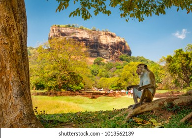 Toque macaque posing on fron of Sigiriya Lions Rock, Sri lanka