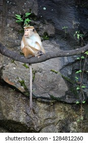 A Toque Macaque sitting on a branch in Sri Lanka