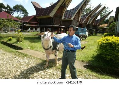 TORAJA - INDONESIA, 1 July 2009 : A man with Tedong Bonga, buffalo toraja a buffalo that is expensive and rare