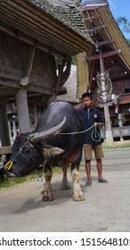 Toraja, Indonesia - December 2019: Teenage boy riding a black buffalo with a happy face