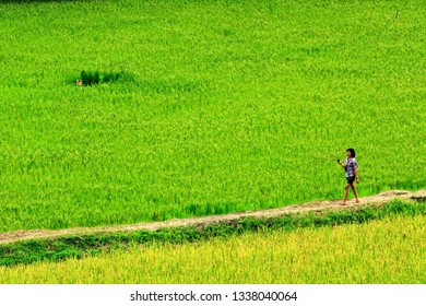 Toraja, South East Sulawesi / Indonesia - December 29, 2012 : a female tourist walks between fields ready for harvest in Toraja