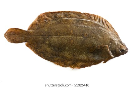Torbay sole(Glyptocephalus cynoglossus) isolated on white