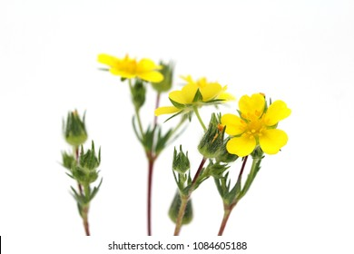 Tormentil flowers (Potentilla erecta) isolated on white.