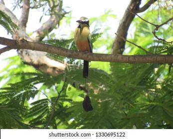 Torogoz bird, El Salvador
