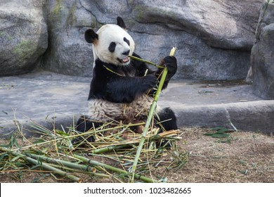 TORONTO, CANADA - MARCH 12, 2016: Giant panda Da Mao eating bamboo in Toronto Zoo, Canada.  Giant pandas will be leaving Toronto for Calgary on March, 2018.