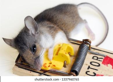 Toronto, Ontario, Canada - December 5, 2006: Common house mouse caught in a mousetrap
