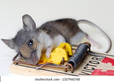 Toronto, Ontario, Canada - December 5, 2006: Common house mouse caught in a mousetrap on white background