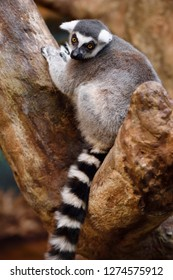 Toronto, Ontario, Canada - March 19, 2016: Captive Ring Tailed Lemur perched in a stone tree