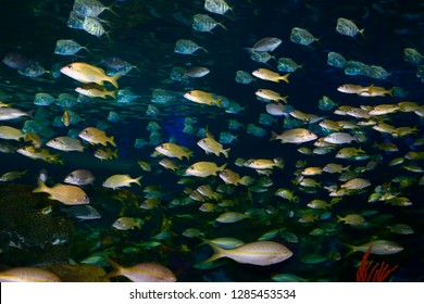 Toronto, Ontario, Canada - May 31, 2014: Shoals of French Grunt Yellowtail and Bluestripe Snappers with silver Lookdown Fish in an aquarium