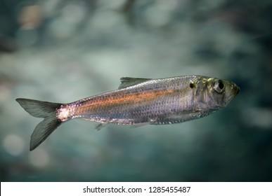 Toronto, Ontario, Canada - May 31, 2014: Swimming juvenile Alewife herring fish