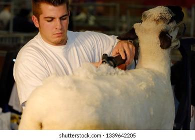 Toronto, Ontario, Canada - November 10, 2006: Young man shaving a sheep
