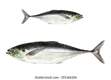 torpedo scad (Finny scad, Finletted mackerel scad)  isolated on white background