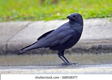 Torresian Crow (Corvus orru)