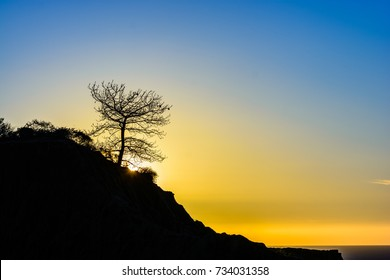 A torrey pine tree stands against the setting sun in La Jolla, California