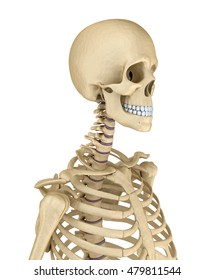 Torso of human skeleton, isolated. Medically accurate 3d illustration .