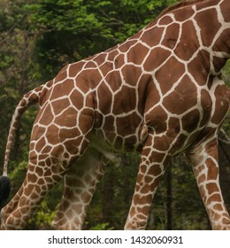 The torso of a male giraffe highlights the spots of its coat