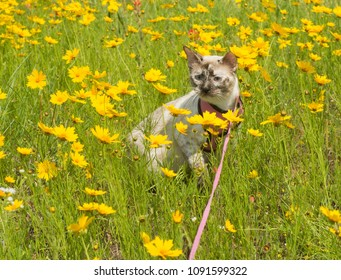 Tortie point Siamese cat on an outdoor adventure in harness, in the middle of yellow wildflowers