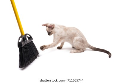 Tortie point Siamese kitten swatting at a broom, on white