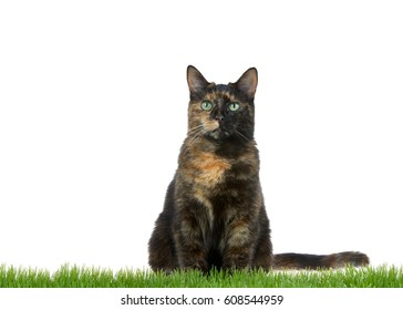 Tortie Torbie tabby cat sitting in green grass isolated on white background looking directly at viewer. Copy space