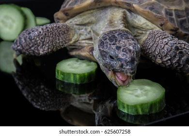 Tortoise angirly feasting on cucumber