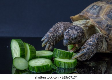 Tortoise angrily feasting on cucumber