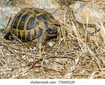 Tortoise in dry grass