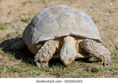 Tortoise eating grass in a park.