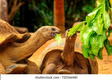 Tortoise eating a papaya leaf on Bird Island Seychelles. Tortoises feeding on the ground plants on Bird Island Seychelles. Green Turtle, Bird Island Seychelles.