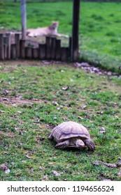 Tortoise in the foreground cheetah - juxtaposition