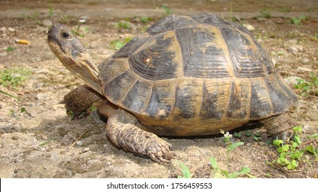 tortoise. Greek tortoise. close up of tortoise. closeup turtle. tortoise in nature - turtle. reptiles, reptile, animals, animal, pets, pet, wildlife, wild nature, forest, woods, garden, park, desert