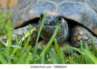 Tortoise in Green Grass