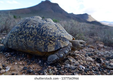 Tortoise in the Karoo National Park, Great Karoo, South Africa