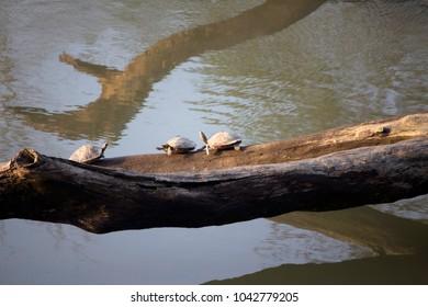 Tortoise of Kaziranga
