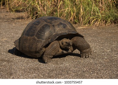 Tortoise on Isabela Island which is in the Galapagos.
