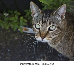 Tortoise shell cat stares into the camera with baleful green eyes sitting in a garden setting. Close-up image shows details in the fur, eyes and whiskers.