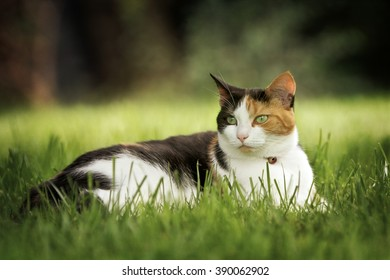 Tortoise shell and white cat lying on grass with soft focus garden background.