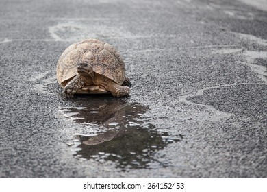 Tortoise taking a sip