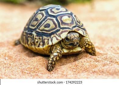 Tortoise (Testudo hermanni) on the sand