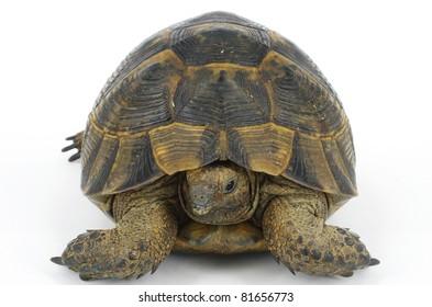 tortoise turtle Testudo graeca ibera