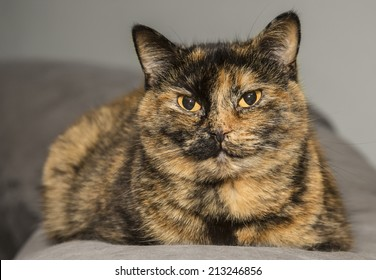 Tortoise-colored cat lying on couch